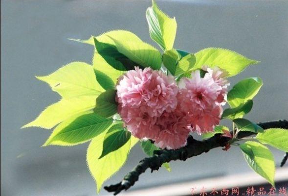 樱花绽放――华华中华拍