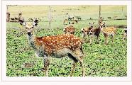 祁连鹿场――亚洲最大的半野生驯鹿基地