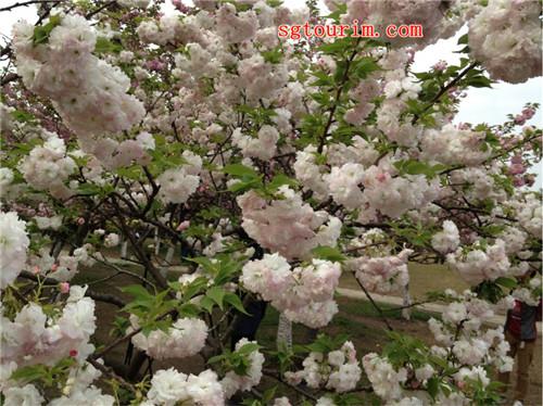 新丰樱花峪图集
