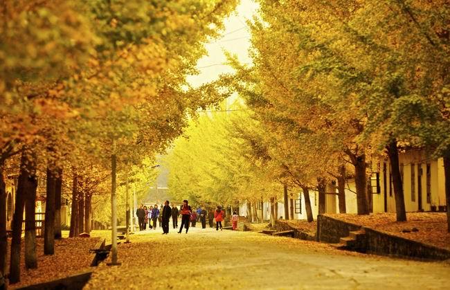 秋风起,一年一度的金黄盛宴开始了,银杏叶勾勒的童话世界被各地游客所期待,都在时刻关注着南雄那绝美的银杏金黄世界,为追寻那片至美金黄。